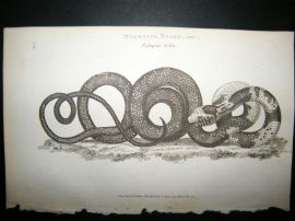 Shaw C1810 Antique Print. Mourning Snake